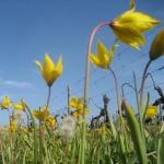 Tulipes sauvages (Tulipa sylvestris)
